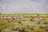 Gemsbok antelopes with calfs at South African bush — Stock Photo