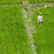 Workers in green rice field — Stock Photo
