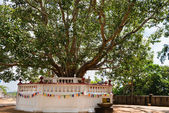 Sacred fig tree in a Buddhist temple — Stock Photo
