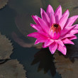 Fuchsia-colored star lotus flower — Stock Photo