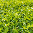 Stock Photo: Green plantation of Ceylon tea