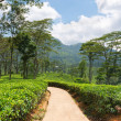 Fresh green Ceylon tea plantation field at mountains — Stock Photo
