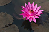 Fuchsia-colored star lotus flower — 图库照片