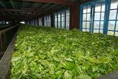 Fresh tea crop drying on tea factory — Stock Photo