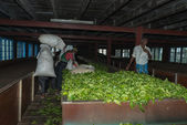 Fresh tea crop drying on tea factory — Stock Photo