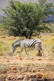 One wild zebra in Afrian bush — Stock Photo