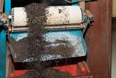 Black tea bulk on production line at tea factory — Stock Photo