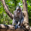 Balinese monkey on a tree — Stock Photo