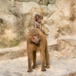 Baboon baby riding on it's mother's back — Stock Photo