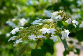 Arrowwood (Viburnum) flowers — Photo