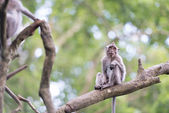 Lonely monkey macaque on tree branch — Stock Photo