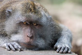 Intent and strict look of resting wild big monkey leader — Stock Photo