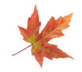 Maple leaf isolated on white background — Stock Photo