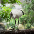 Sacred Ibis bird — Stock Photo