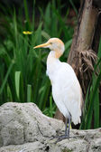Cattle Egret in nature — Stock Photo