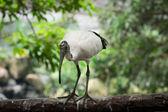 Sacred Ibis bird — Stock Photo