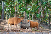 Yellow cows near wooden trough — Stock Photo