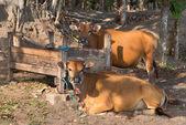 Hnědé krávy poblíž dřevěné koryto — Stock fotografie