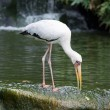 Milky Stork feeding in a lake — Stock Photo