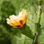 Cactus flower — Stock Photo #34425457