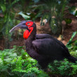 Southern ground hornbill bird — Stock Photo