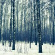 Birch forest in snow winter — Stock Photo