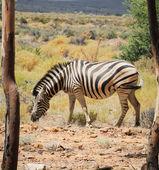 Zebra between two trees in the wild — Stockfoto