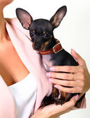 Small dog in hands isolated on white background — Stock Photo
