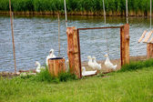 白鹅附近的池塘和金属栅栏户外 — 图库照片