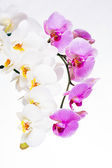 Beautiful purple and white orchid flowers — Stock Photo