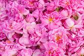 Real Bulgarian Damascena Rose — Stock Photo