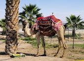 Camel, Israel — Stock Photo
