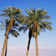 Palms in Israel — Stock Photo