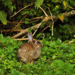 Stock Photo: Hare