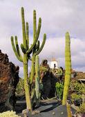 Jardín de cactus, lanzarote, islas canarias, españa — Foto de Stock