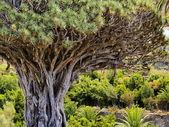 Dragon Tree(Drago Milenario), Icod de los Vinos, Tenerife — Stock Photo