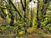 лавровые леса, йерро, канарские острова, испания — Стоковое фото