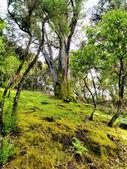 Defne orman, hierro, kanarya adaları, i̇spanya — Stok fotoğraf