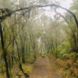 Los Tilos Forest, La Palma — Stock Photo