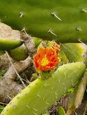 Cactus on La Palma — Stock Photo
