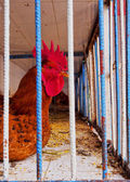 Rooster in a Cage, Morocco — Stock Photo