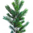 Branch of Christmas tree on white - 