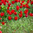 Stock Photo: Red tulips in the field (shallow DOF)
