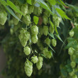 Stock Photo: Green hops