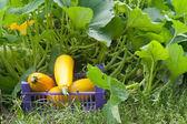 Zucchini — Stock fotografie