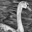 Stock Photo: Juvenile Swan
