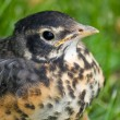 Stock Photo: Juvenile Robin