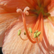 Orange Amaryllis — Stock Photo #29509581