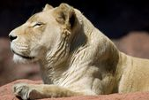 Lion — Foto Stock