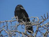 Raven — Stock Photo